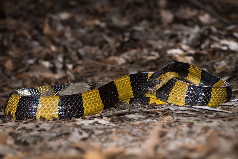 Bungarus_fasciatus,_Banded_krait_-_Prachantakham_District_(23937391991)