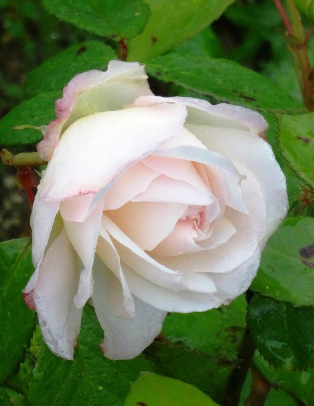 rose blanche cadeau willemse