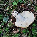 Russula ochroleuca (5)