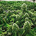 Une biologiste moléculaire explique comment le thc du cannabis tue complètement le cancer