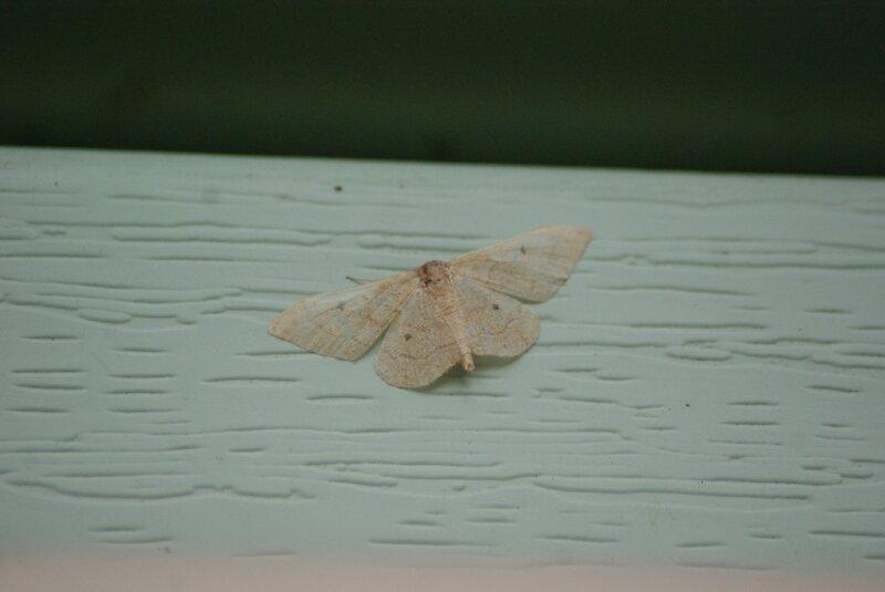 papillon nuit blanc 94