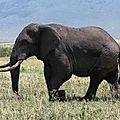 NG12-Elephant