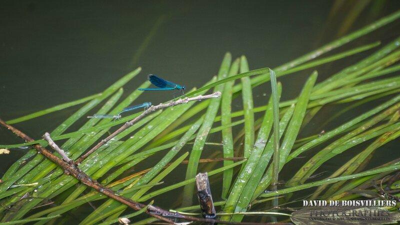 Demoiselles bleues derrière un beau Caloptéryx éclatant