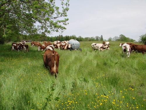 2008 05 27 Les vache dans le près