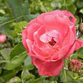 roses-rouges (1)