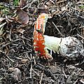 Amanita muscaria (5)