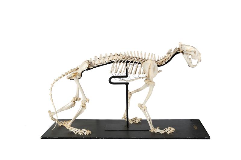 squelette-de-panthera-tigris-sur-socle-93-170-cm-hors-socle-1387798668463139