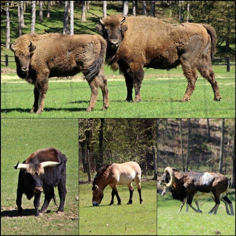 28 Bisons (Large)