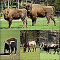28 Bisons (Large)