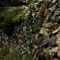 Les roses du vieux chemin