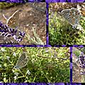 Papillon mon bel ami
