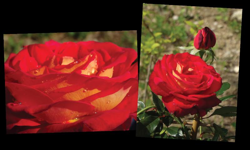 rosier gipsy fleur bien ouverte