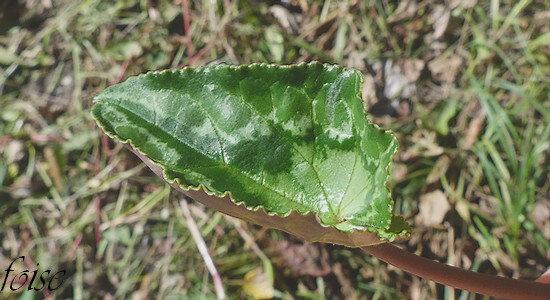 feuilles étroitement en coeur à la base