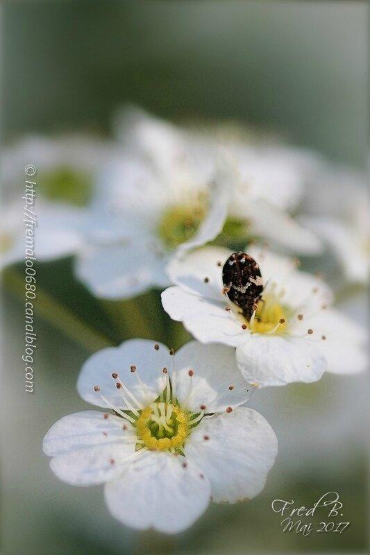 Chrysomelidae - Bruchinae