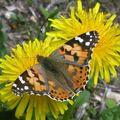 Papillons de l'été: vanesse des chardons