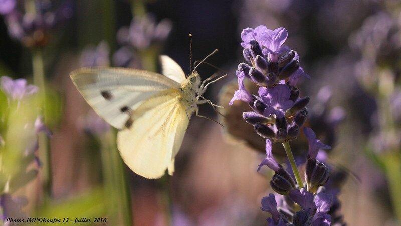 Photos JMP©Koufra 12 - Papillons - 04 juillet 2016 - 00068 - 001b