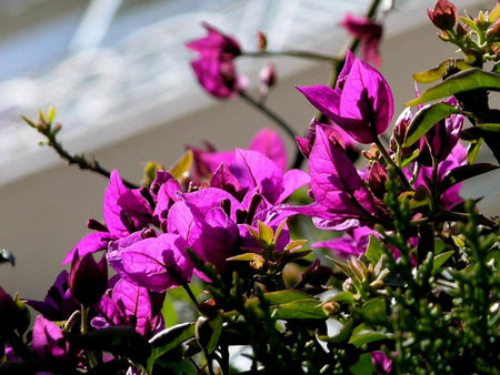 bougainvillees_620x465