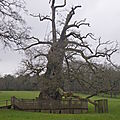 Chêne d'Eon (ou chêne à Guillotin), 1000 ans d'âge...