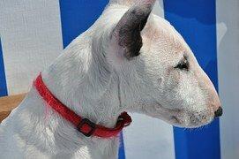 Bull Terrier Blanc