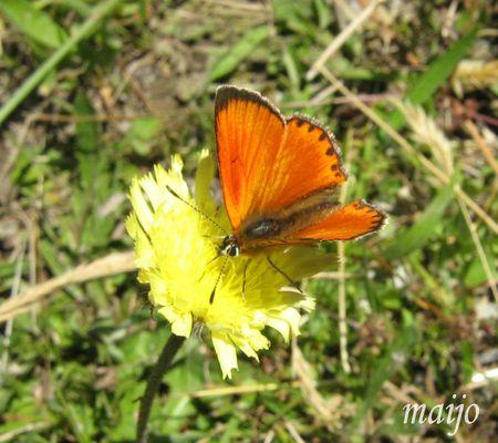papillon_orange
