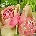 rosevert3