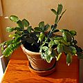 Cactus de noël :)