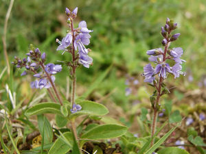 Veronica_officinalis