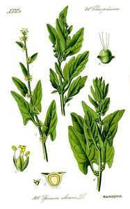 Illustration_Spinacia_oleracea1
