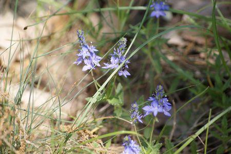 fleur_bleue_05