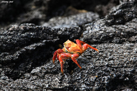 crabe_rouge