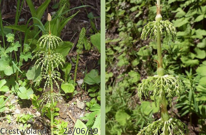 fleurs fertiles à courts rameaux verticillés munies de gaines lâches
