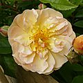 roses jardin blc orange2