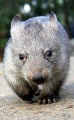 image de wombat 1