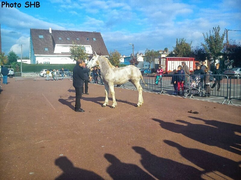 DIAMANT de Guemps - Champion des Concours de Poulains de Marquise et Bourbourg - Marquise - 15 octobre 2013