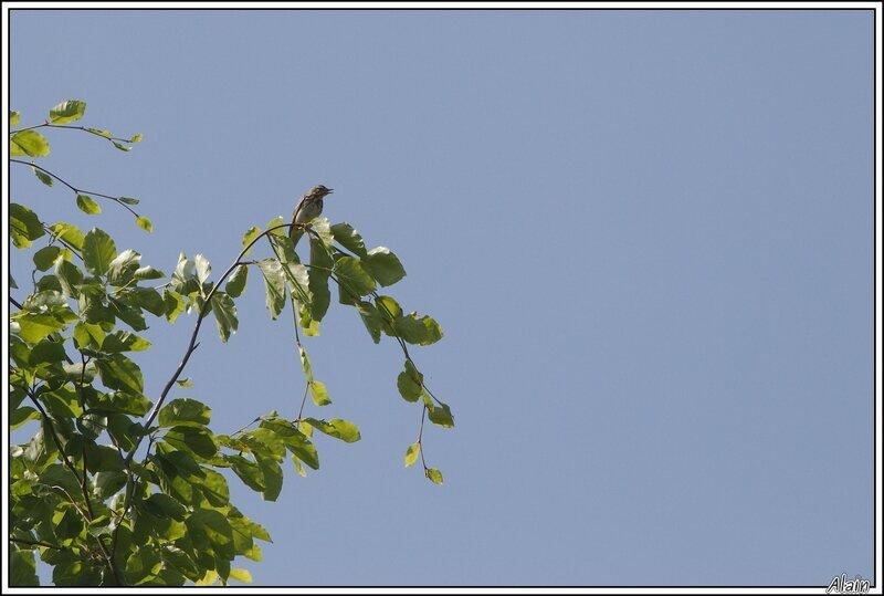 un Pipit des arbres...dans un arbre, comme il se doit !