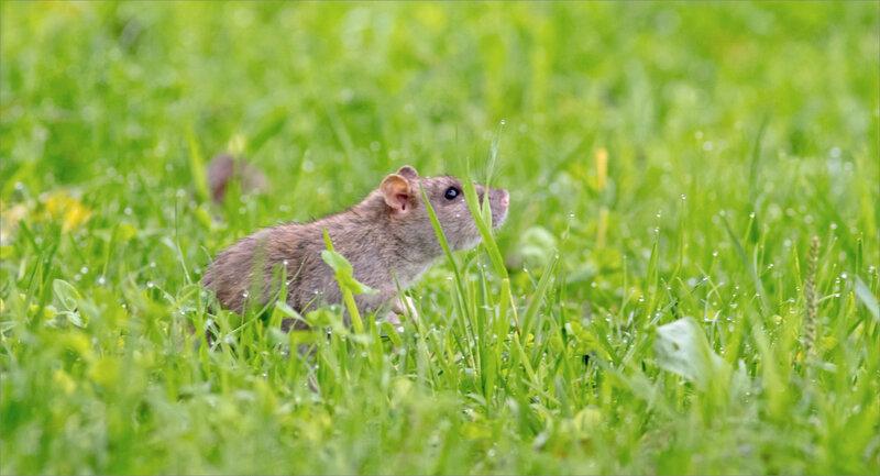 ville rat herbe mouillée 061119 7 ym