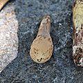 Clavariadelphus pistillaris (7)
