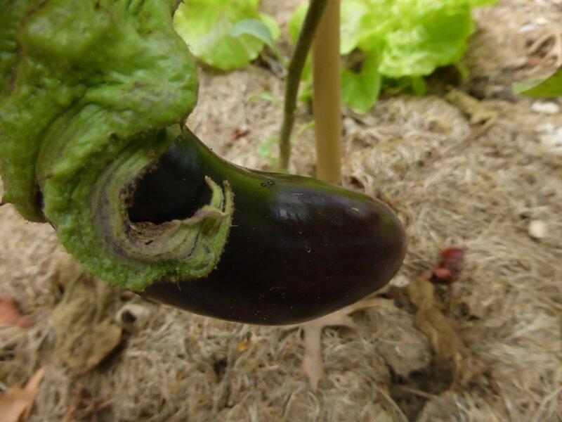 27-aubergines (5)