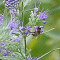La vie des abeilles à belleville .