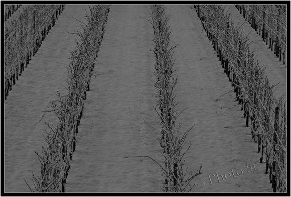 Vigne_en_hiver