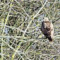 Buse variable - buteo buteo (9)