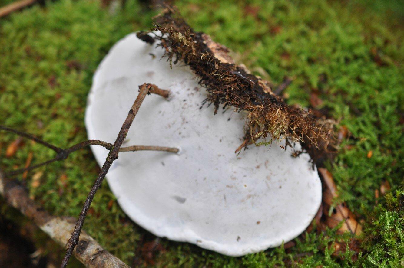 Ganoderma applanatum (3)