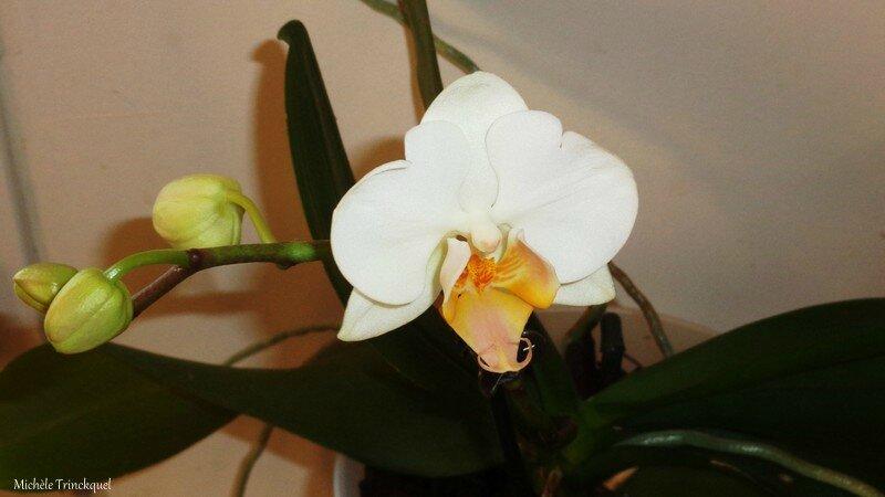 Orchidée blanche 170216