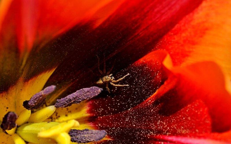 _DSC5313Tulipe araignée S