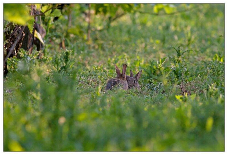 plaine vigne lapins 2 duo 140614