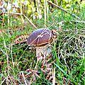 Jeune cèpe de Bordeaux dans la lande...