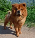 Loulou_Chow_Chow