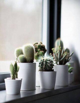 cactus-xxs-accumules-sur-un-rebord-de-fenetre-319x410