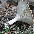 Clitocybe gibba (5)