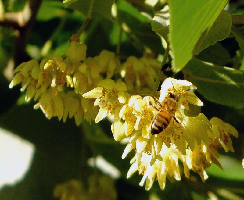 abeille sur fleurs de tilleul baronnies